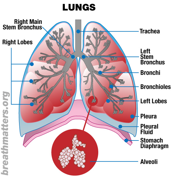 Human respiratory system for ks1 and ks2 children lungs and gallery ccuart Choice Image
